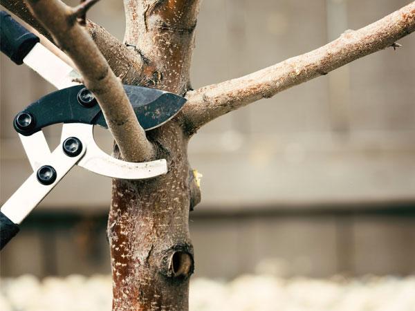 taglio-di-alberi-ad-alto-fusto-mirandola