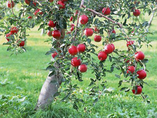 potatura-alberi-da-frutto-mirandola-gonzaga